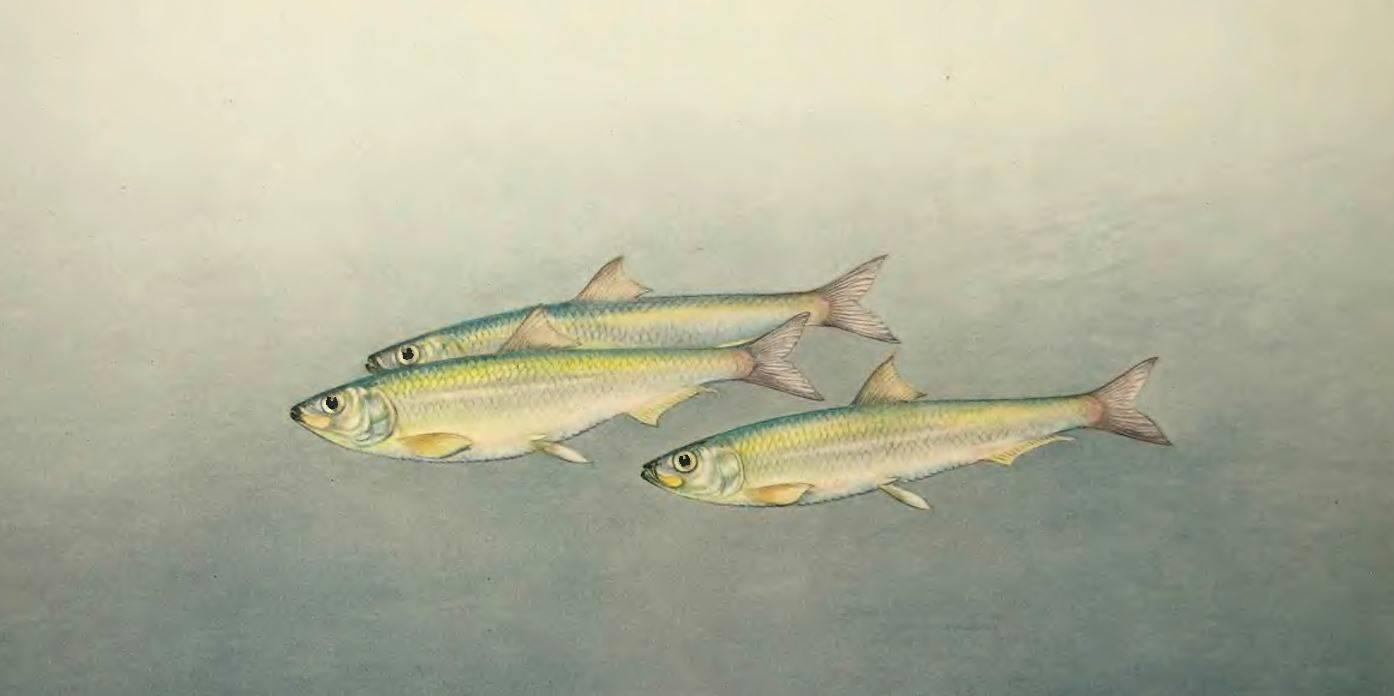 Рыба тюлька. тюлька: полезные свойства речная тюлька