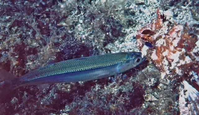 Хамса (рыба)