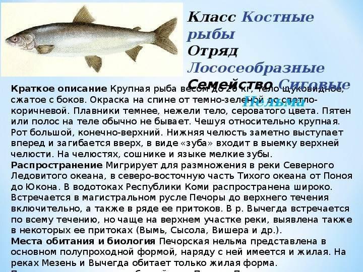 Шамая википедия рыба фото ⋆ онлайн-журнал для женщин