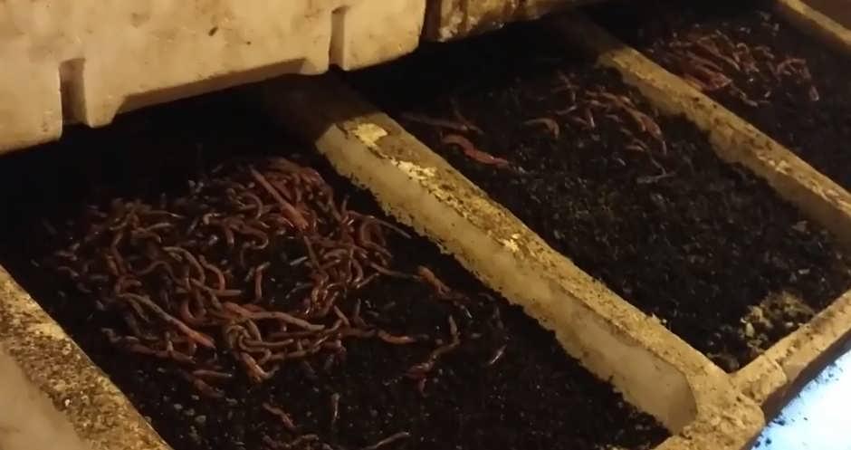 Разведение червей для рыбалки в домашних условиях на даче и дома
