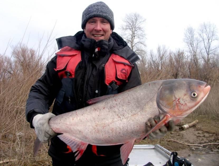 Что за рыба толстолобик: описание вида, полезные свойства и вред