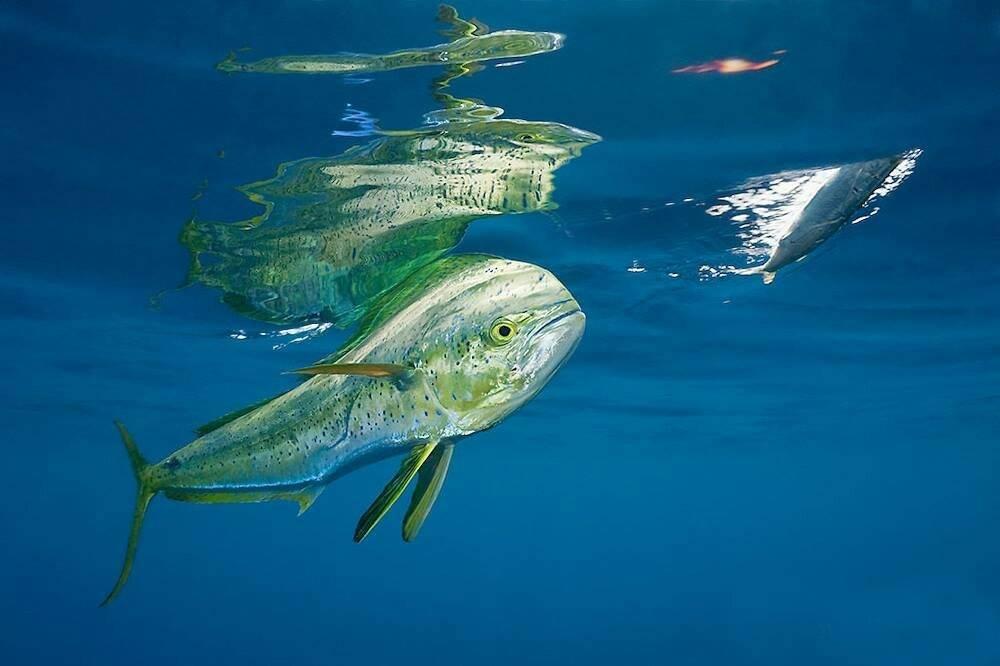 Корифена рыба, её описание, особенности, виды, образ жизни и среда обитания   животный мир