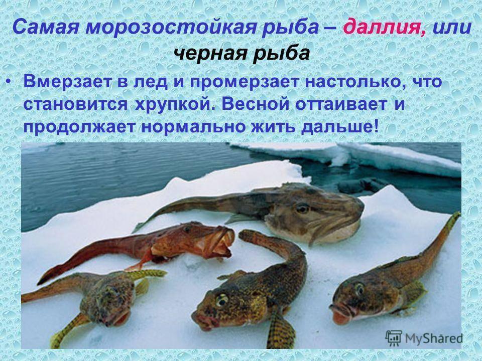 Как зимуют рыбы л карпов. как зимуют рыбы