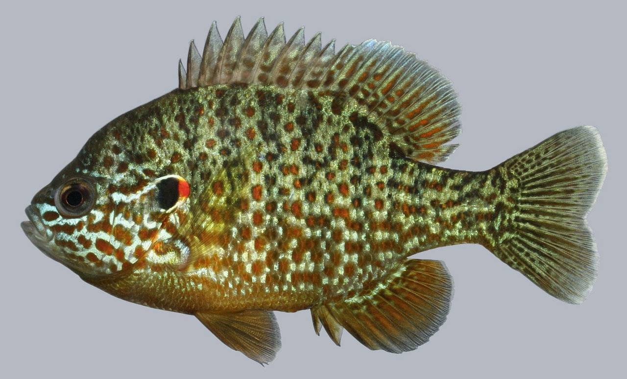 Виды рыб окуня: озерный, речной, лунный, чем питаются и где живут