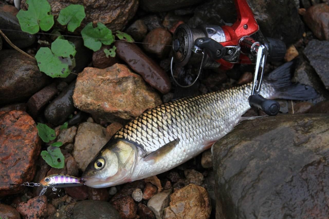 Ловля голавля на спиннинг: весной, на малых реках, выбор снасти и приманки