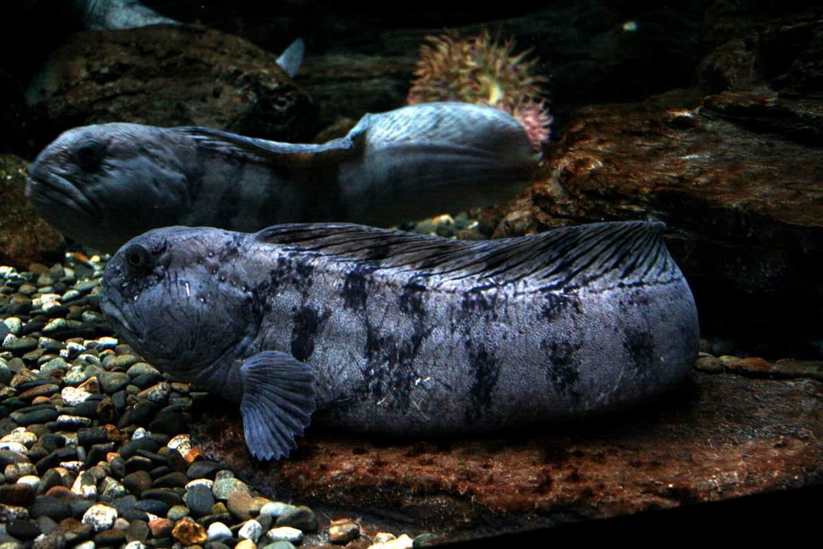 Рыба «Зубатка полосатая» фото и описание