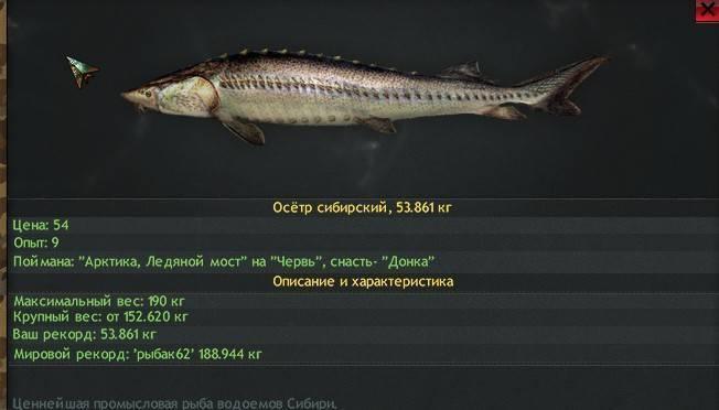Рыба осетр — как выглядит, где обитает и сколько живет,основные виды семейства осетровых