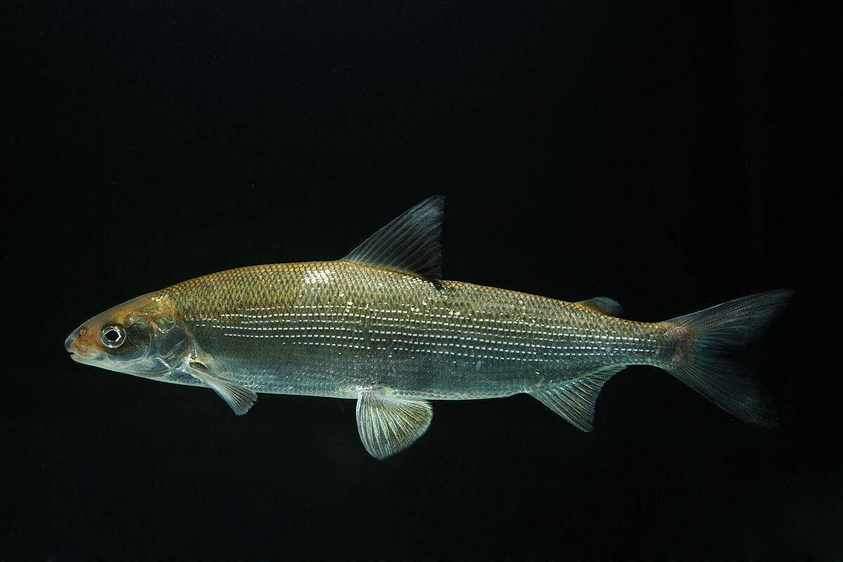 Пыжьян рыба описание и фото | где водится и как выглядит