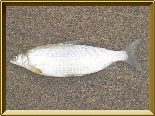 Где обитает рыба сырок