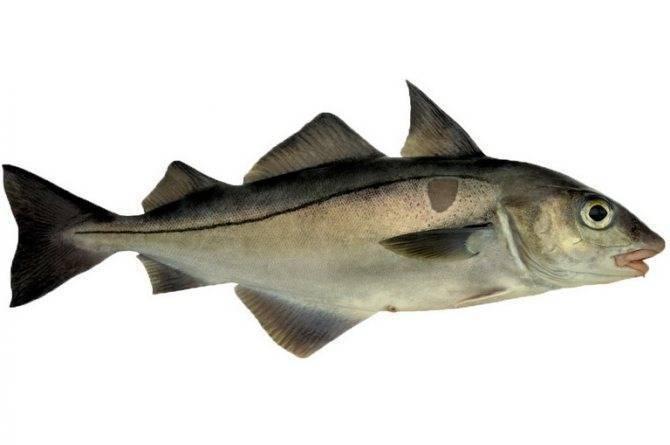 Что за рыба пикша, и чем она полезна