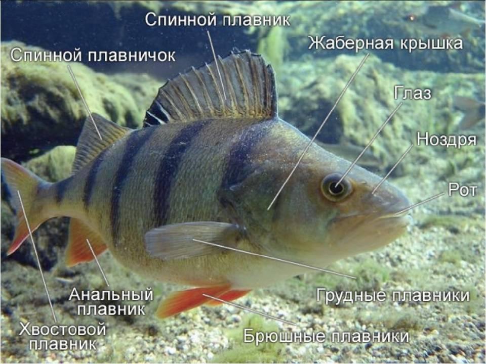Радужный или солнечный окунь: описание, рыбалка, фото, можно ли есть
