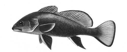 Горбыль-рыба: описание, особенности ловли и среда обитания : labuda.blog горбыль-рыба: описание, особенности ловли и среда обитания — «лабуда» информационно-развлекательный интернет журнал