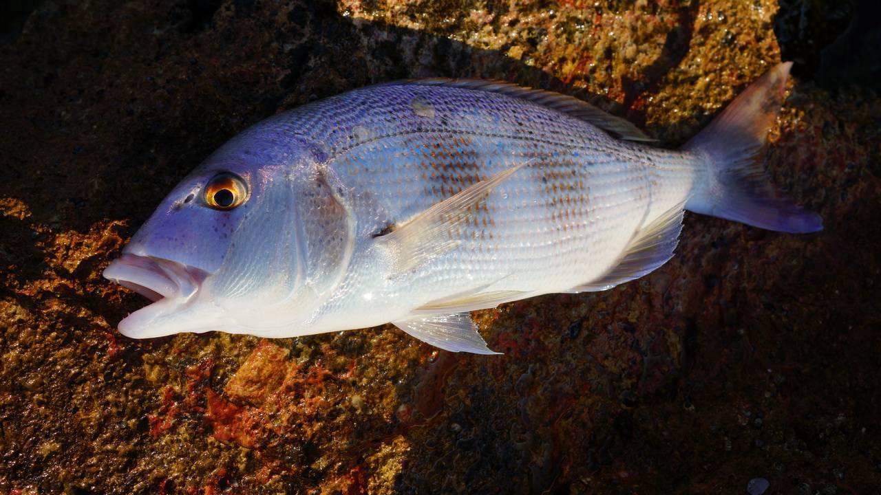 Рыба зубатка – что это за рыба? польза и вред, как вкусно приготовить зубатку – 4 рецепта