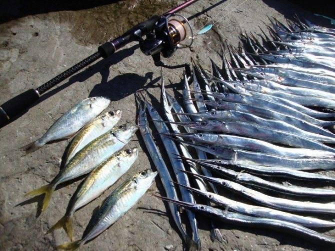 Сарган (рыба-стрела), описание, фото