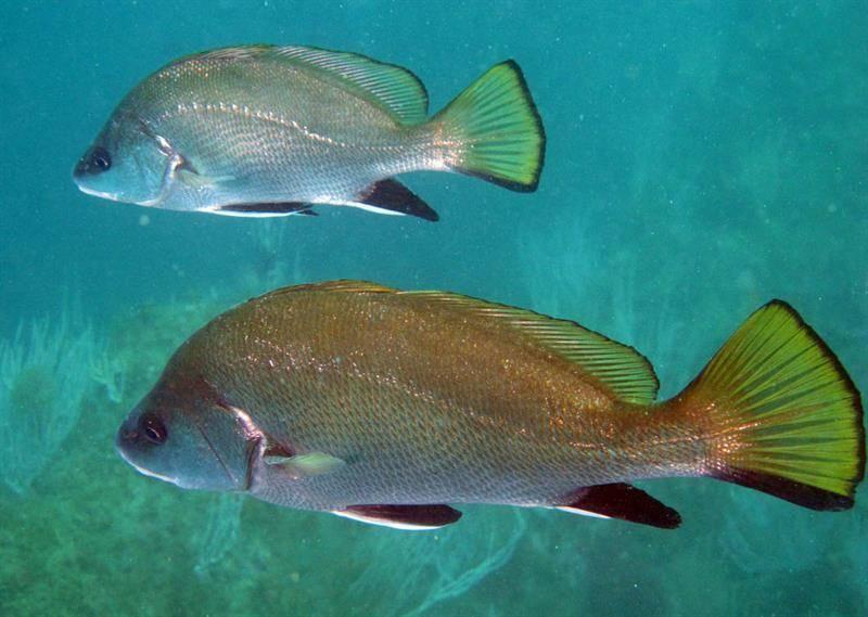 Горбыль — энциклопедия рыб