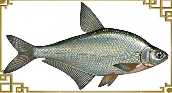 Где обитает рыба синец, способы ловли