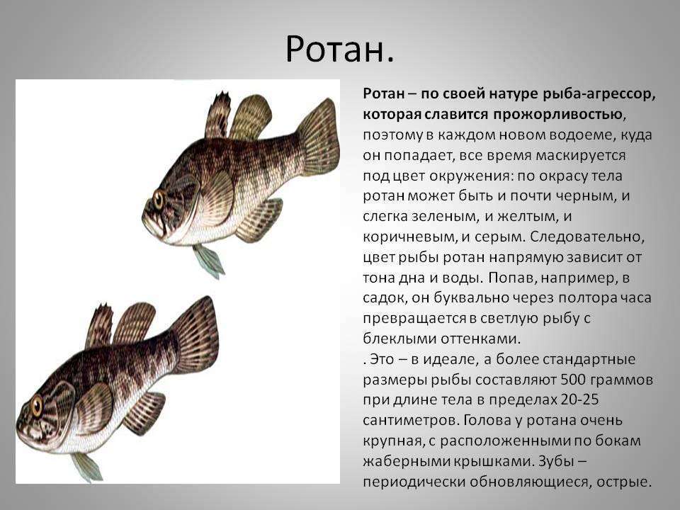 Ротан: рыба, победившая экологию россии