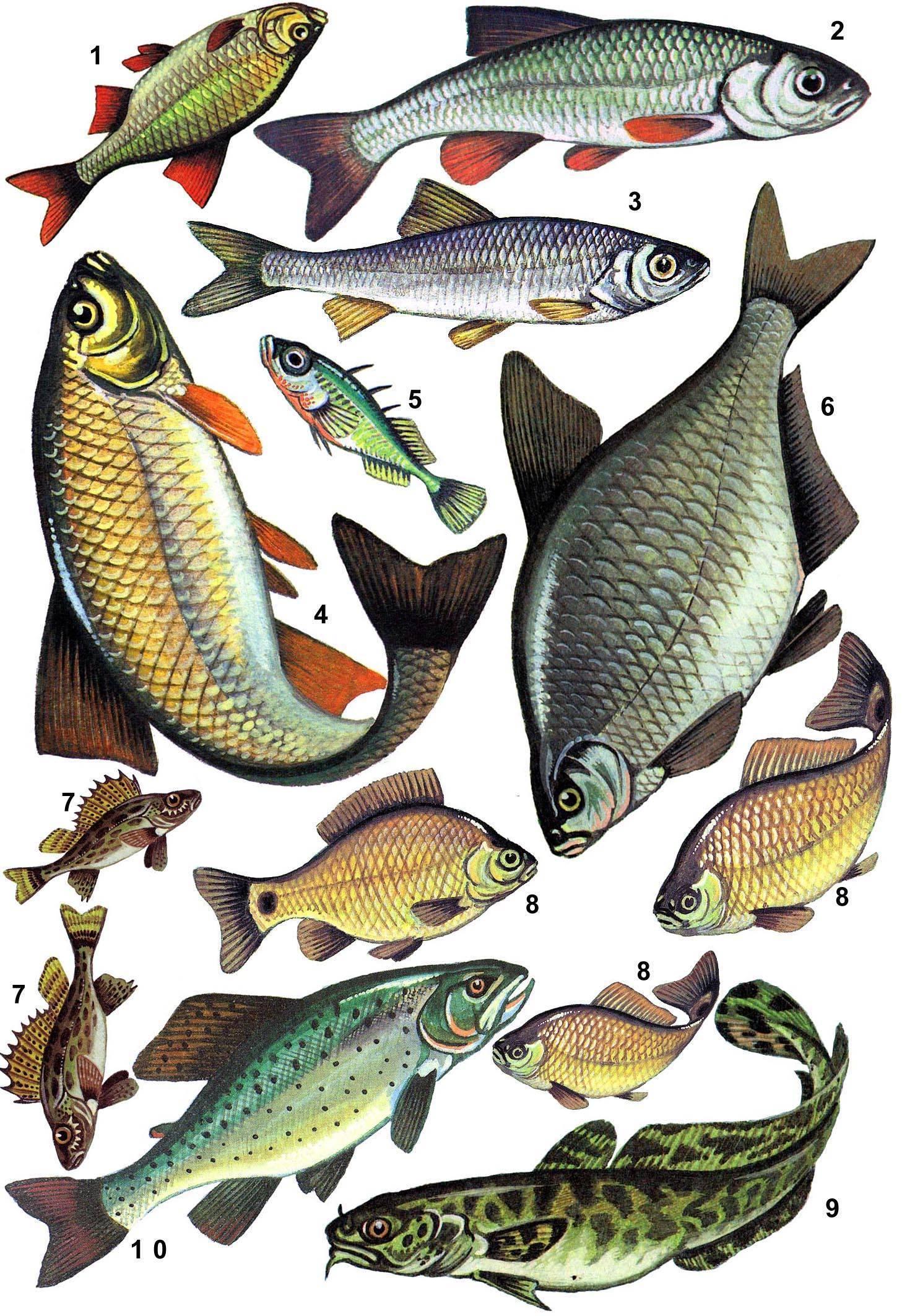 Хищные рыбы - самые опасные и самые распространенные хищные обитатели глубин (150 фото)