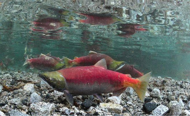 Нерка: что это за рыба, где обитает и чем полезна, особенности ловли