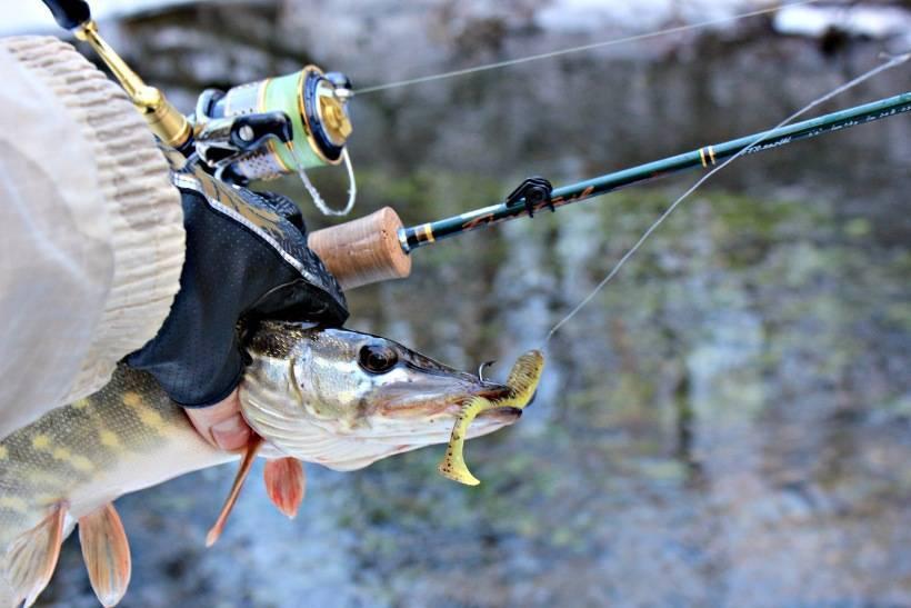 Как ловить окуня на спиннинг