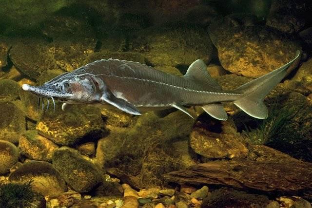 Рыба «Осётр сибирский» фото и описание