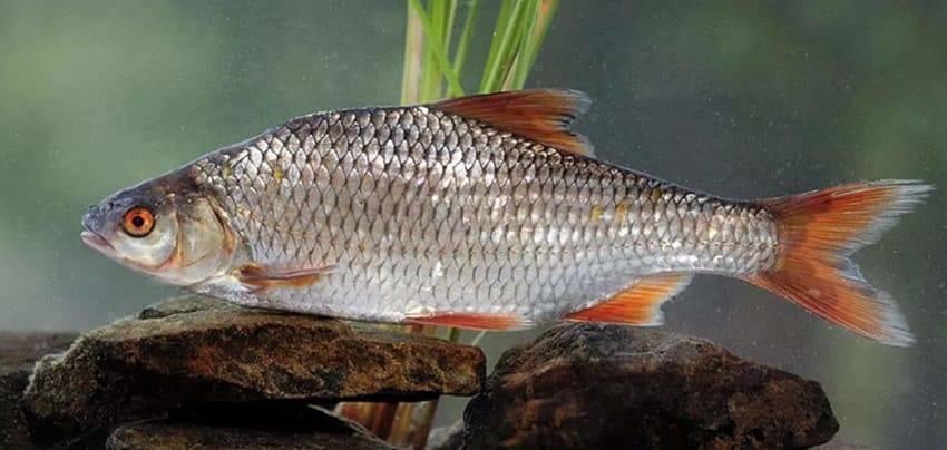 Что за рыбы вобла и тарань