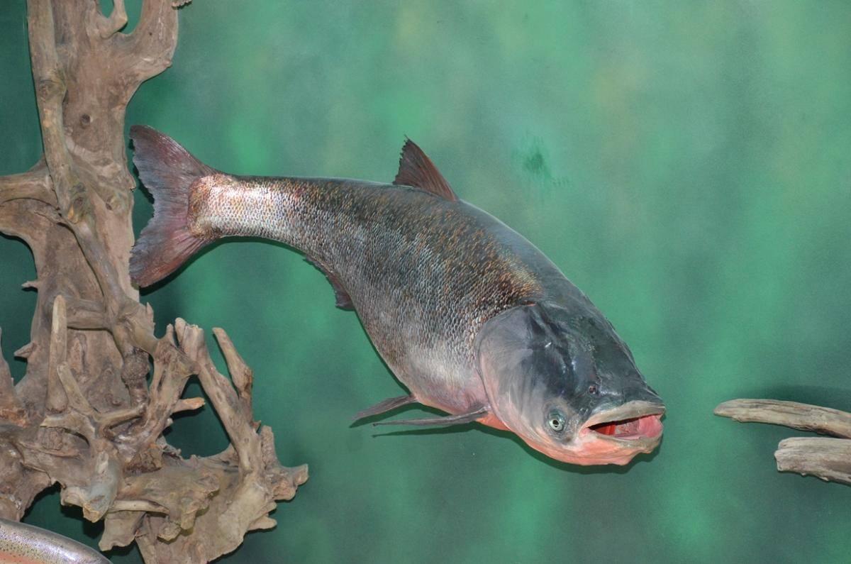 Рыба толстолобик: фото, описание, полезные свойства