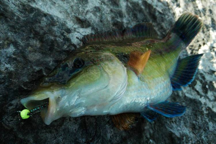 Губан пижама – губан-пижама: описание и содержание. | аквариумные рыбки