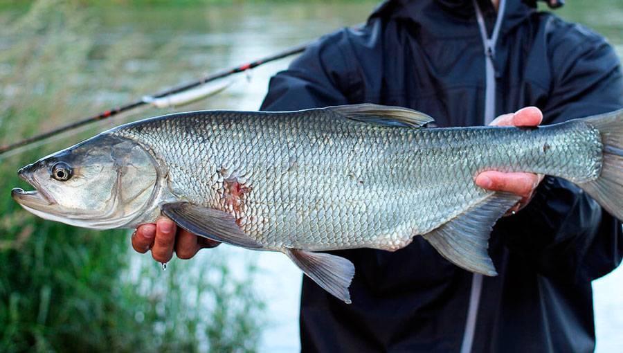 Рыба язь, ее отличие от голавля и где она обитает