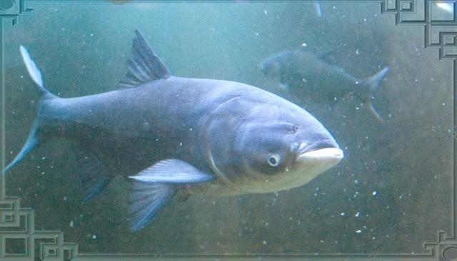 Рыба толстолобик: описание рыбы, фото