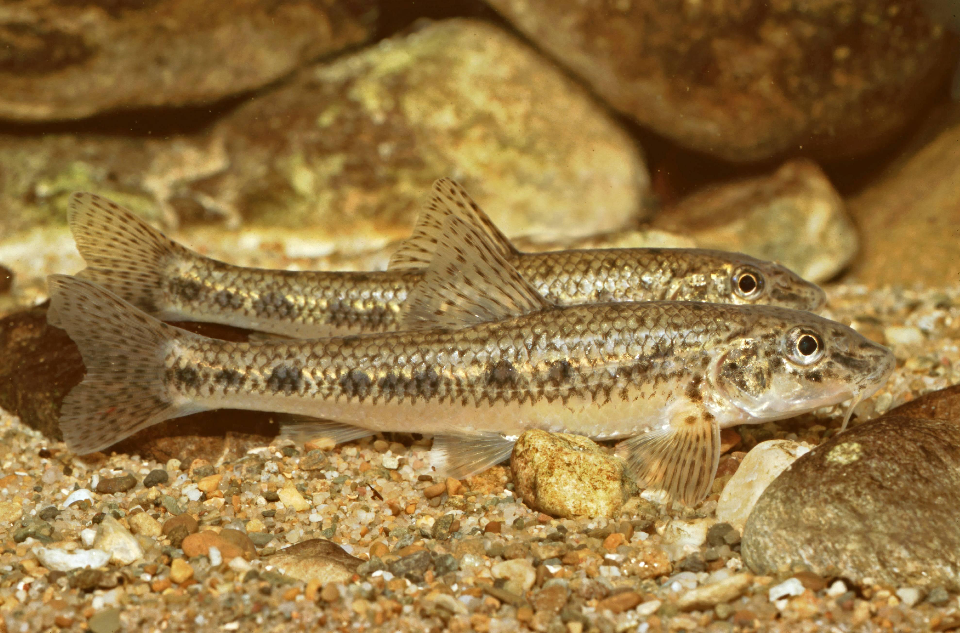 Пескарь обыкновенный: фото рыбы, способы ловли | клёвая рыбалка