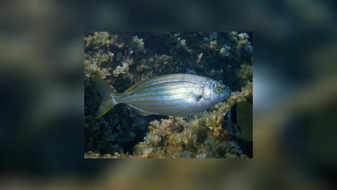 Сальпа: пищевые свойства, роль в рационе питания и способы приготовления - рыба - 2020
