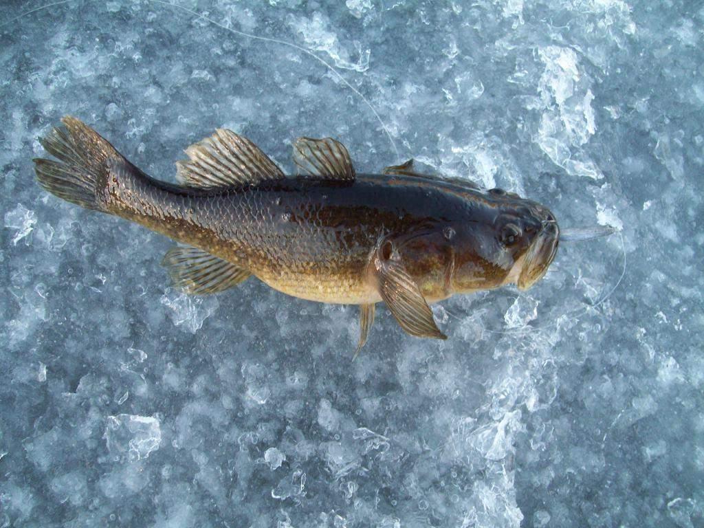 Как приготовить ротанов: большой выбор блюд из рыбы-головёшки