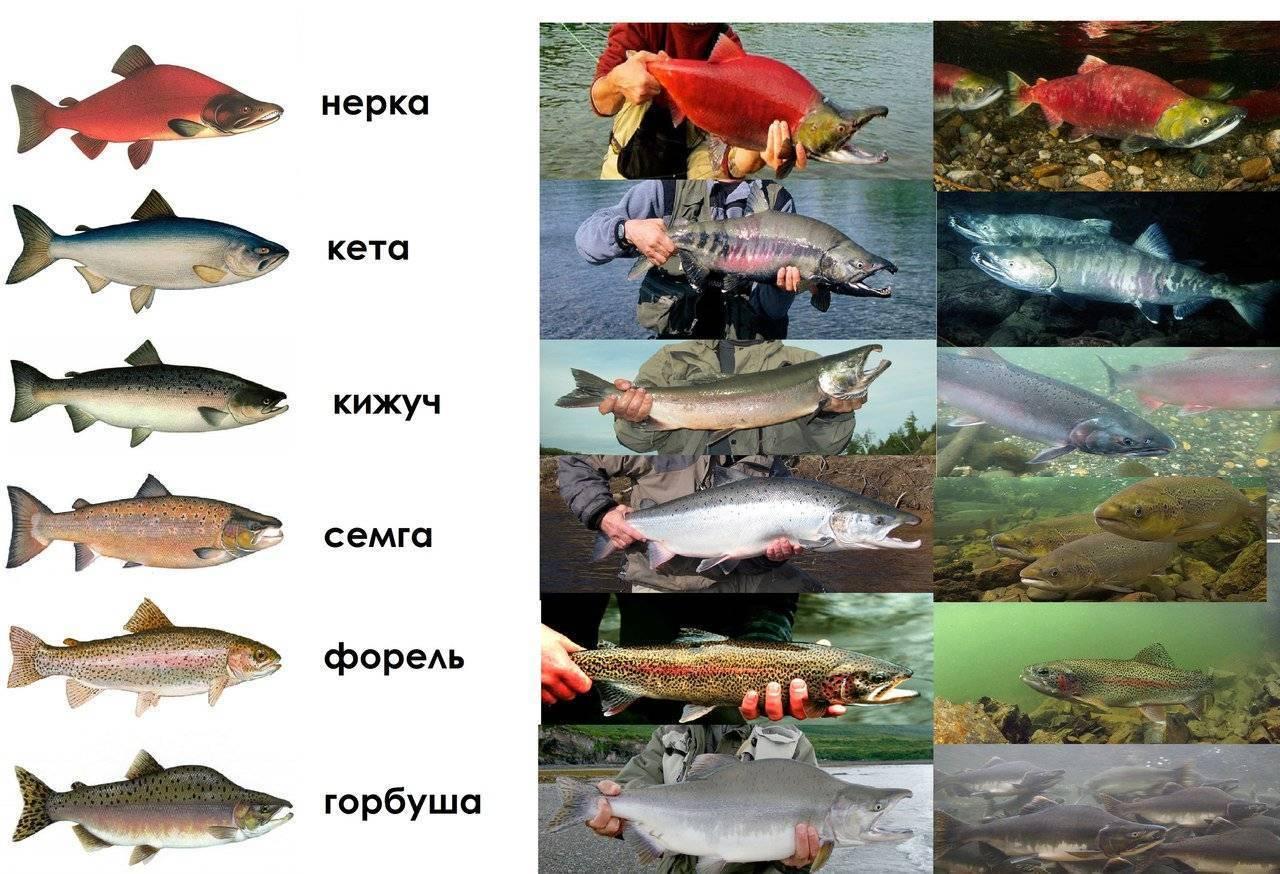 Нерка: что это за рыба и в чём её польза