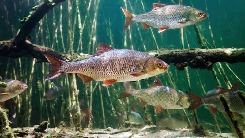 Рыба минога