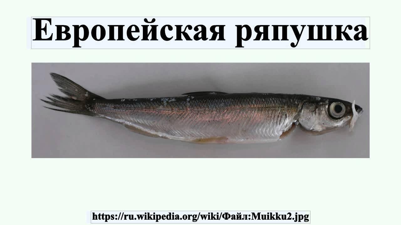 Ряпушка рыба фото — ловись рыбка