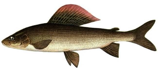 Хариус рыба. образ жизни и среда обитания рыбы хариус | животный мир