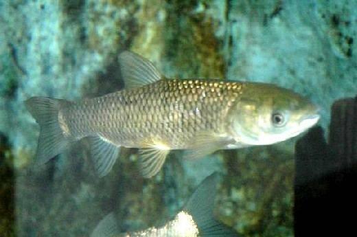 Рыба белый амур: польза и вред для организма