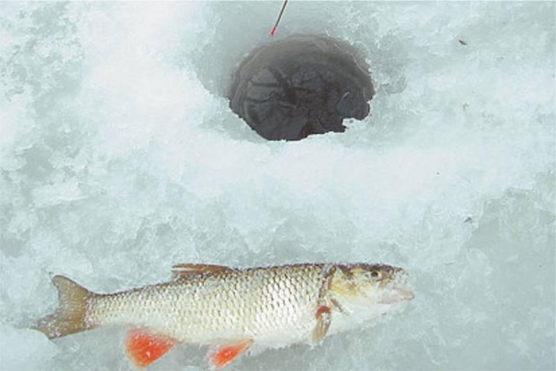 Рыба подуст фото и описание, реальная рыбалка ⋆ rest-river.ru
