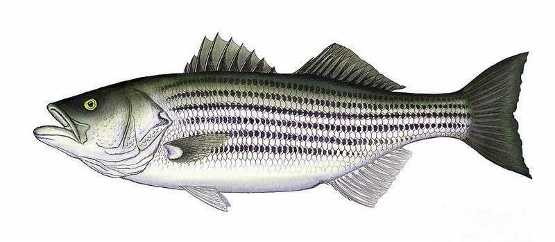 Рыбу сибас называют рыбой волк или лаврак, не просто так у нее много названий