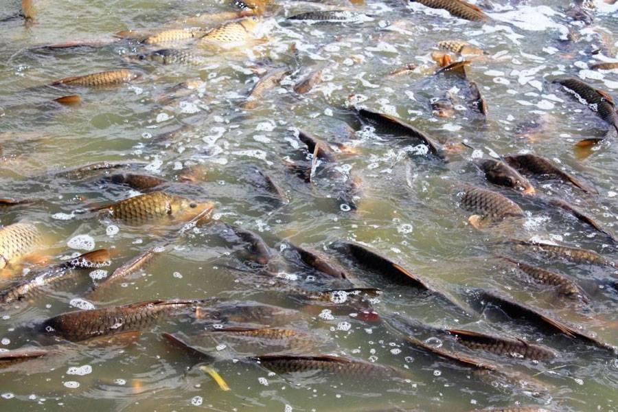 Какие рыбы относятся к семейству карповых
