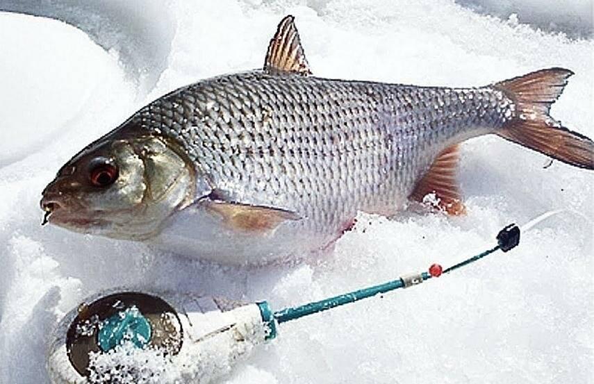 Ловля карася зимой на реке, озере и в пруду: где и как ловить, выбор снасти и оснастки для зимней рыбалки, видео как искать и поймать крупную рыбу