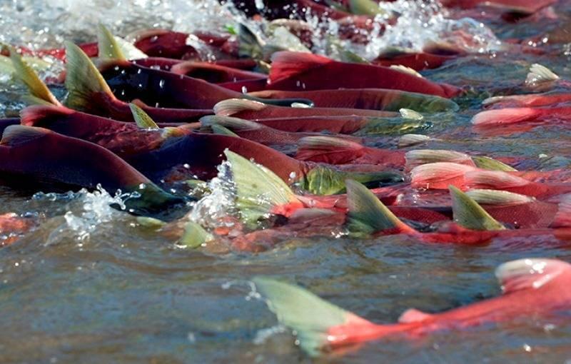 Нерест лососевых рыб: когда происходит и погибает ли лосось