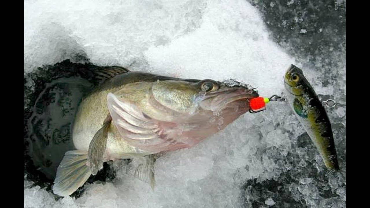 Ловля судака: осваиваем технику ловли и предпочтения хащника по сезону
