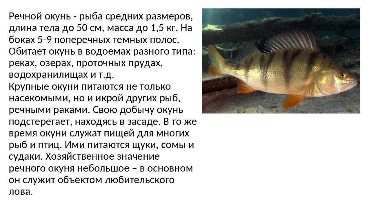 Окунь речной (обыкновенный): фото, приготовление, польза и вред