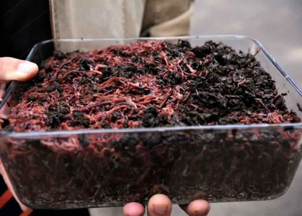 Как хранить червей для рыбалки дома, чем их кормить и как выращивать – рыбалке.нет