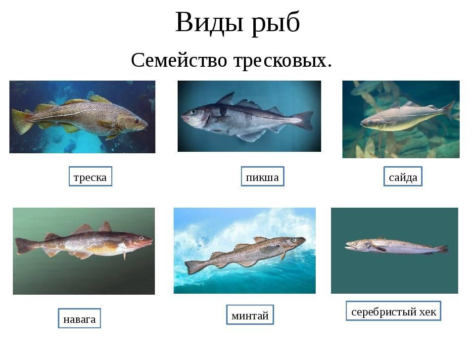Тресковые породы рыб список — ловись рыбка