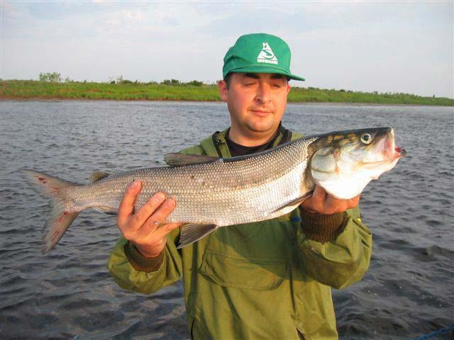 Рыба таймень фото и описание
