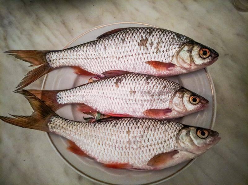 Плотва рыба с фото и описанием
