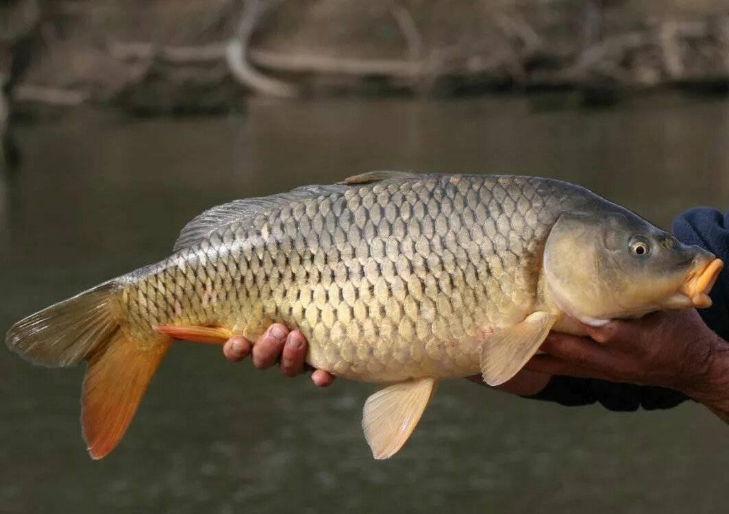 Сазан (рыба). фото и описание. размеры | все о сазане